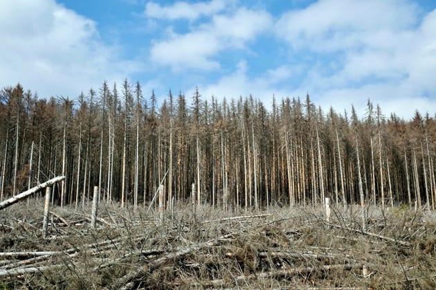 Nadelwaldsterben durch Borkenkäfer, Klimawandel, Brände