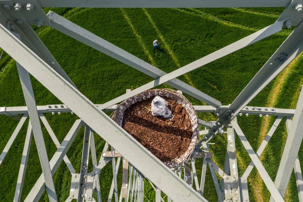 Wanderfalke sitzt seinem Nest auf einem Strommast